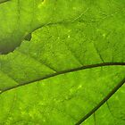 Gunnera by JuliaJay