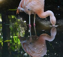 Greater Flamingo - Adelaide Zoo by Adam Jan Dutkiewicz