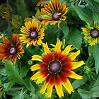 Rudbeckia hirta Autumn Colors by lindabeth