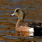 American Wigeon (Anas americana) by Jeff Weymier