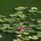 Waterlillies by Sandra McArthur