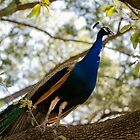 Peacock out on a prowl  by Nazm  Photography