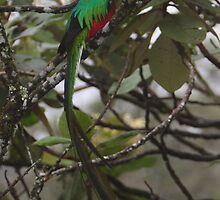 Resplendent Quetzal  by naturalnomad