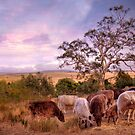 Chow Time - Galloway Cows, Kanmantoo, The Adelaide Hills, SA by Mark Richards