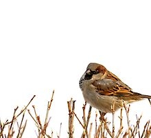 Eurasian tree sparrow, white background. by cloud7
