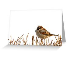 Eurasian tree sparrow, white background. Greeting Card
