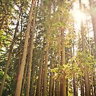 Sunlight Illuminates a Czech Forest by ieatstars