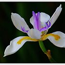 Dietes. by Bette Devine