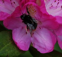 Bumble Bee on flower by Stan Daniels