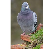 Pigeon front view Photographic Print