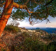 Arbutus Tree by Don Guindon
