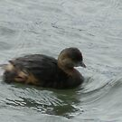 Ring-Necked Duck, Juvenile by Navigator