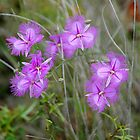 Australian Fringed Lilies: Thysanotus tuberosus by George Petrovsky