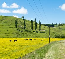 buttercup farm in NZ by Anne Scantlebury