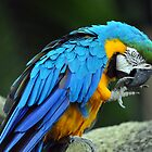 Blue & Yellow Macaw - Singapore (3) by Ralph de Zilva