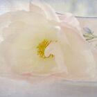 tea rose by Teresa Pople