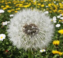 Dandelion by JHuntPhotos