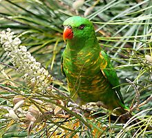 Scaly Breasted Lorikeet by Keith G. Hawley