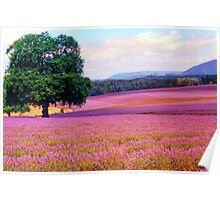 A Field of Lavender Poster