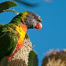 Lorikeet conversation, Clovelly, Sydney by Erik Schlogl
