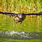 A Pacific Black Duck (Anas superciliosa) spreads its wings displaying its impressive wing span by Nick Egglington