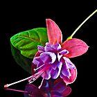 Fuchsia Heidi Ann by Tom Newman