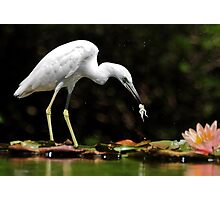 Little Blue Heron - White Morph With Tadpole/Frog Photographic Print