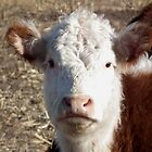 Curious Hereford Calf by Deb Fedeler