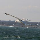 Seagull in Flight by NealEslinger