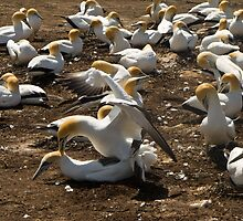 gannets mating by Anne Scantlebury
