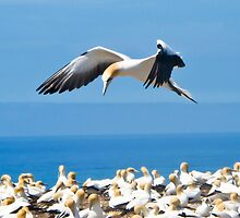 gannet flying over colony 2 by Anne Scantlebury