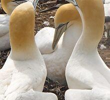 trio of gannets by Anne Scantlebury