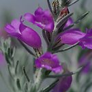 Eremophila. (2) by Bette Devine