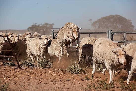 Sheep Olympics by Malcolm Katon