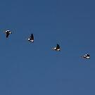 Pelicans in Flight by Lynn Starner