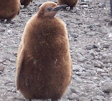 King Penguin chick by michaelpartis