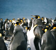 King Penguin majesty by michaelpartis