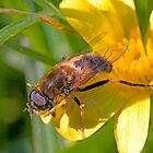 Drone-fly on a Lesser Celandine by Robert Down