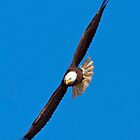 Flying Bald Eagle by Michael Mill