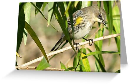 Yellow-rumped Warbler ~ Male Audubon's by Kimberly Chadwick
