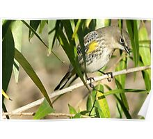 Yellow-rumped Warbler ~ Male Audubon's Poster