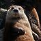North American river otter (Lontra canadensis) by Steve  Liptrot