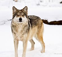 Mexican Gray Wolf ( 3 of 3 ) by Tim Denny