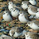 Ringed Sanderling. by Lilian Marshall