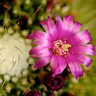 cactus flower by lokusooriya