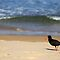 Sooty Oystercatcher at Pebbly Beach by Darren Stones