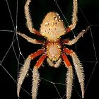 Garden orb weaver - Eriophora_ sp. by Andrew Trevor-Jones