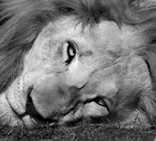 Black and white lion by Anna Phillips