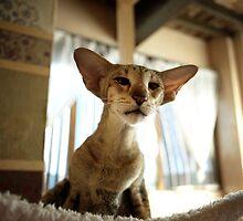 oriental shorthair cat by annapozzi
