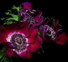 Blood Red Anemones by Ann Garrett